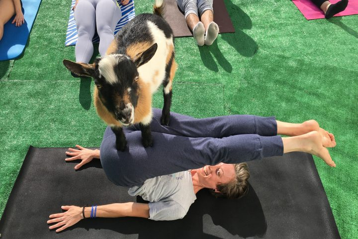 Goat Yoga at Basecamp Coffee & Eatery